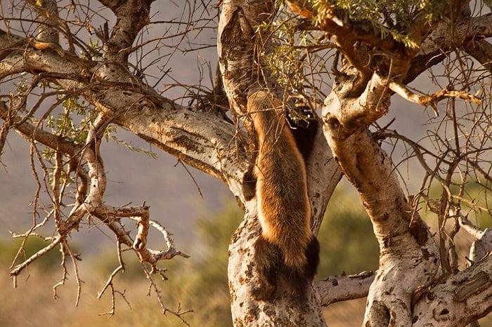 Honey Badger climbing up a tree.