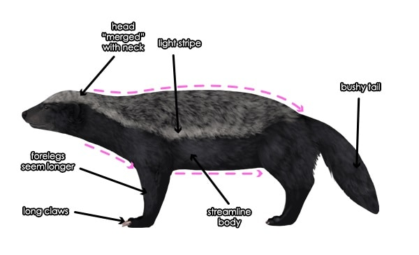 Honey Badger Body Parts