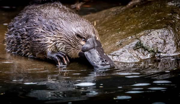 Platypus Near a Stream