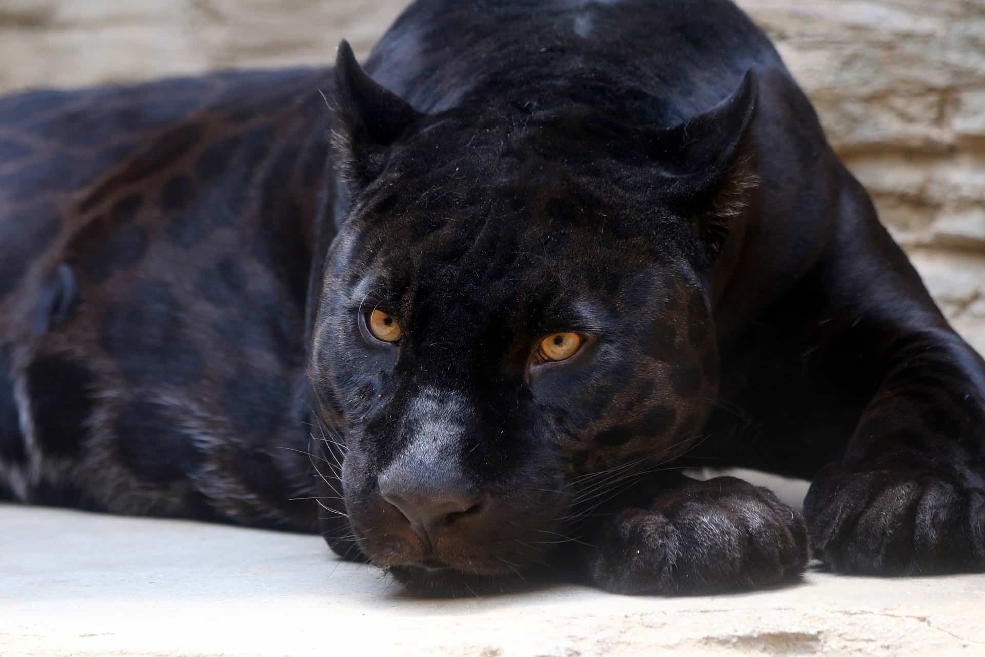 panther facts