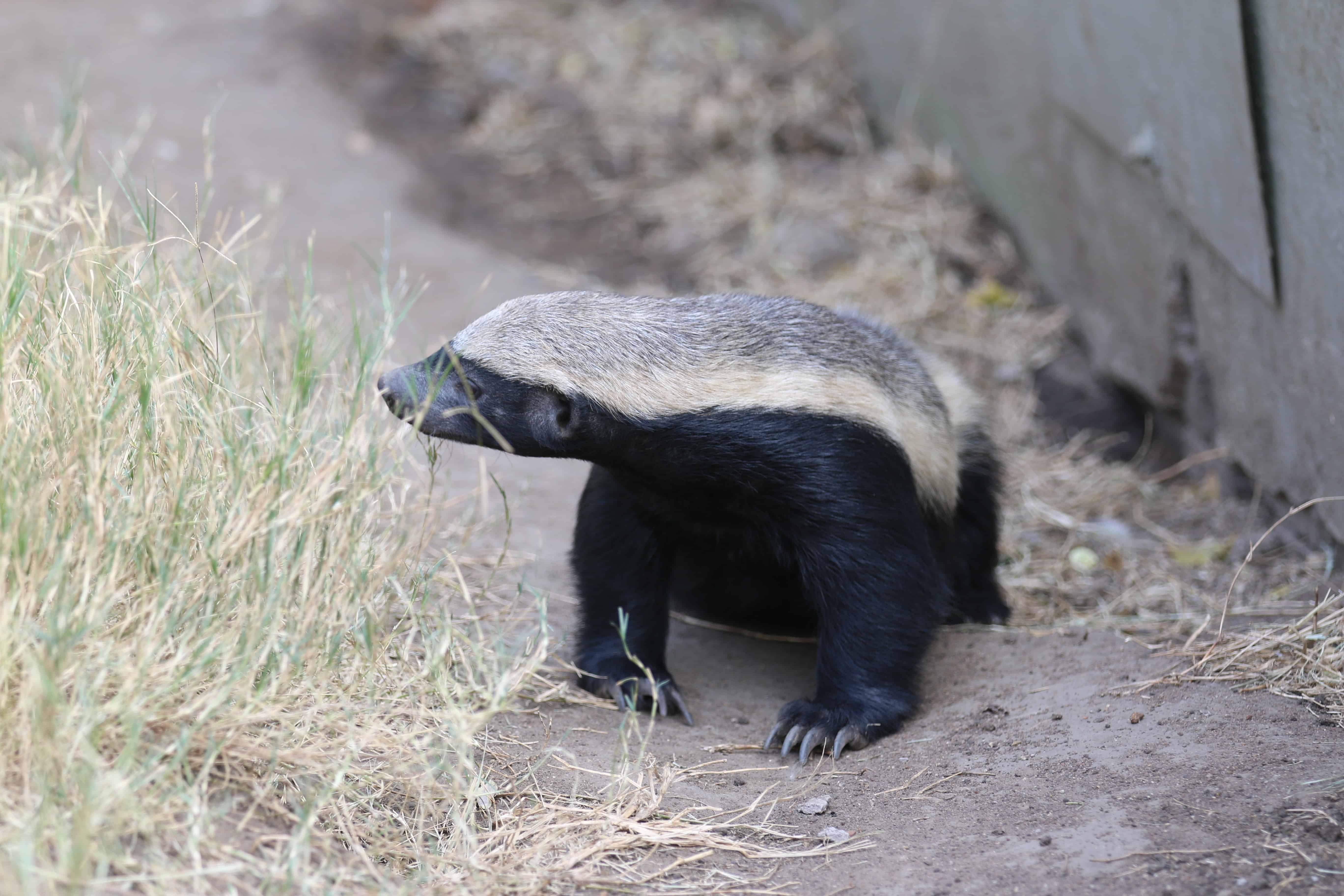 honey-badger-facts