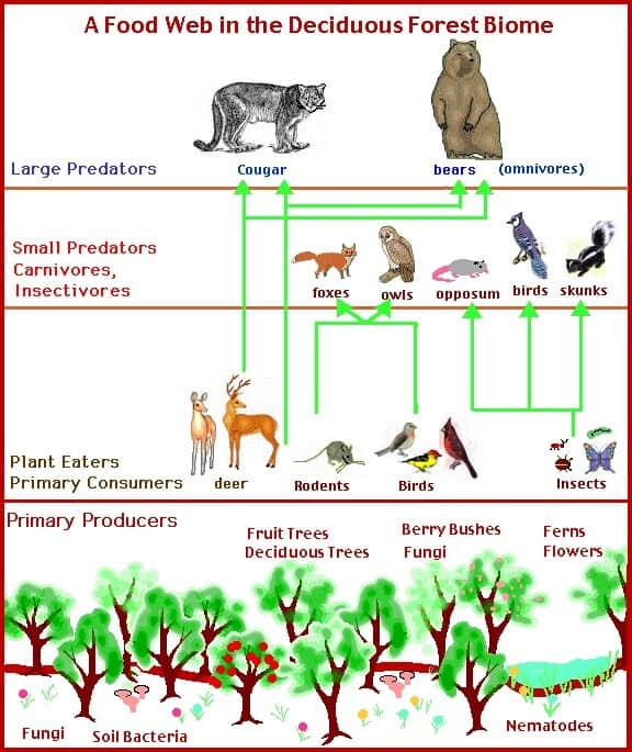 Deciduous Forest Food Web