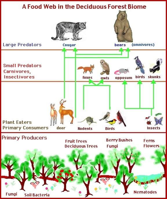 Deciduous-Forest-Food-Web