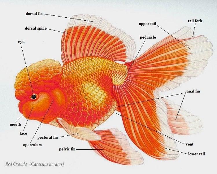 Goldfish Body Parts