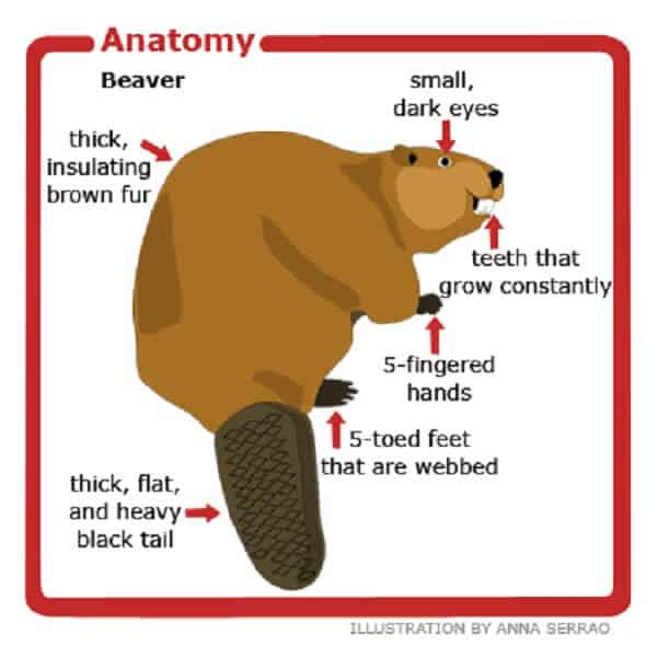 Beaver Anatomy