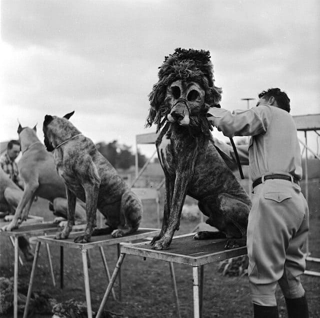 Boxer Dogs were popular circus performers