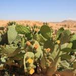 Cacti in Sahara Desert