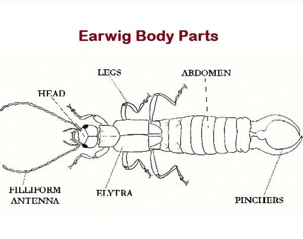 Earwig Body Parts