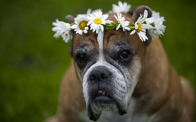 18 Facts About Boxer Dogs Anatomy