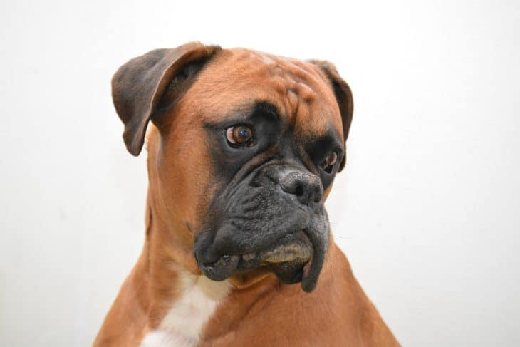 boxer dog facts