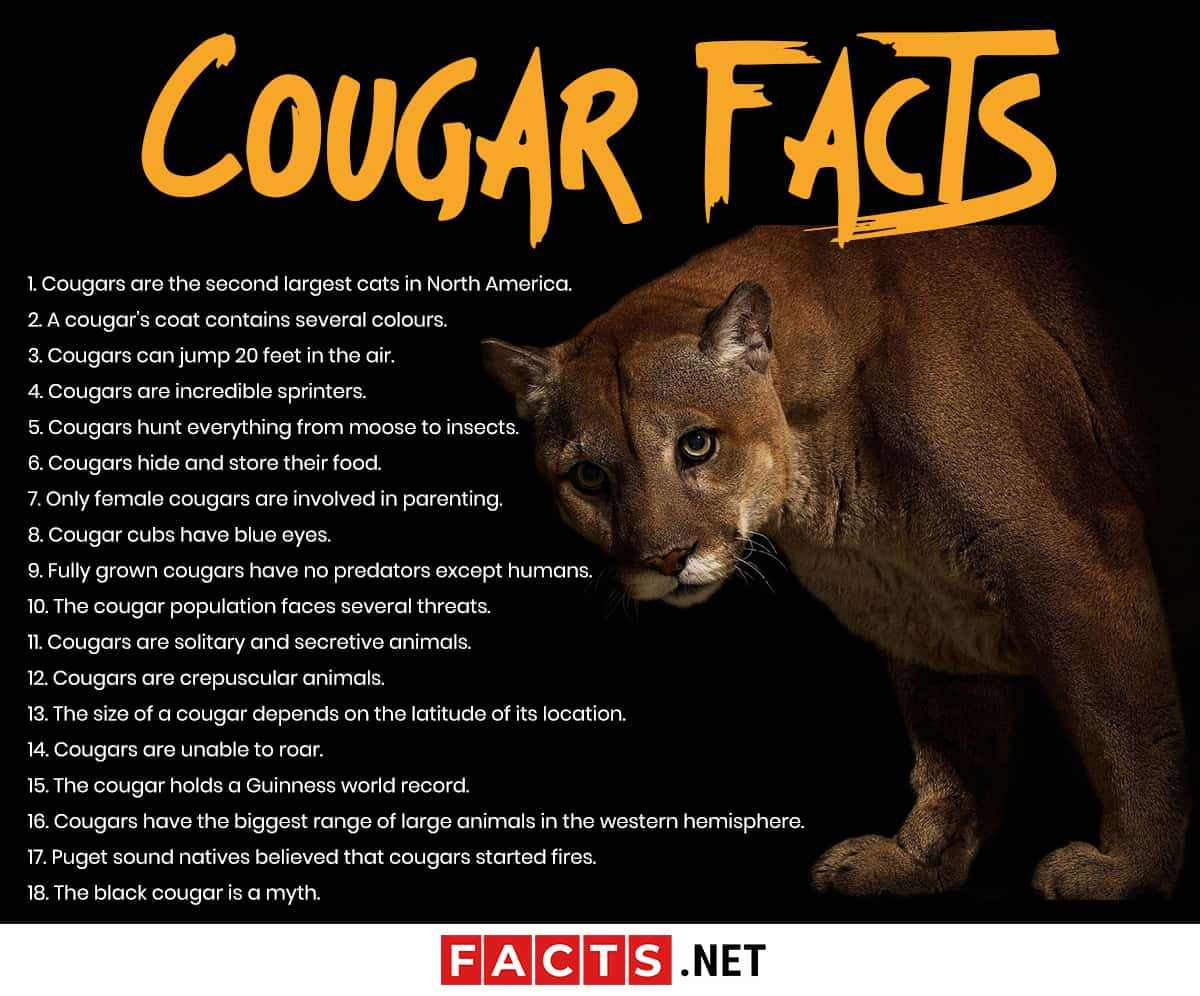 cougar facts infographics