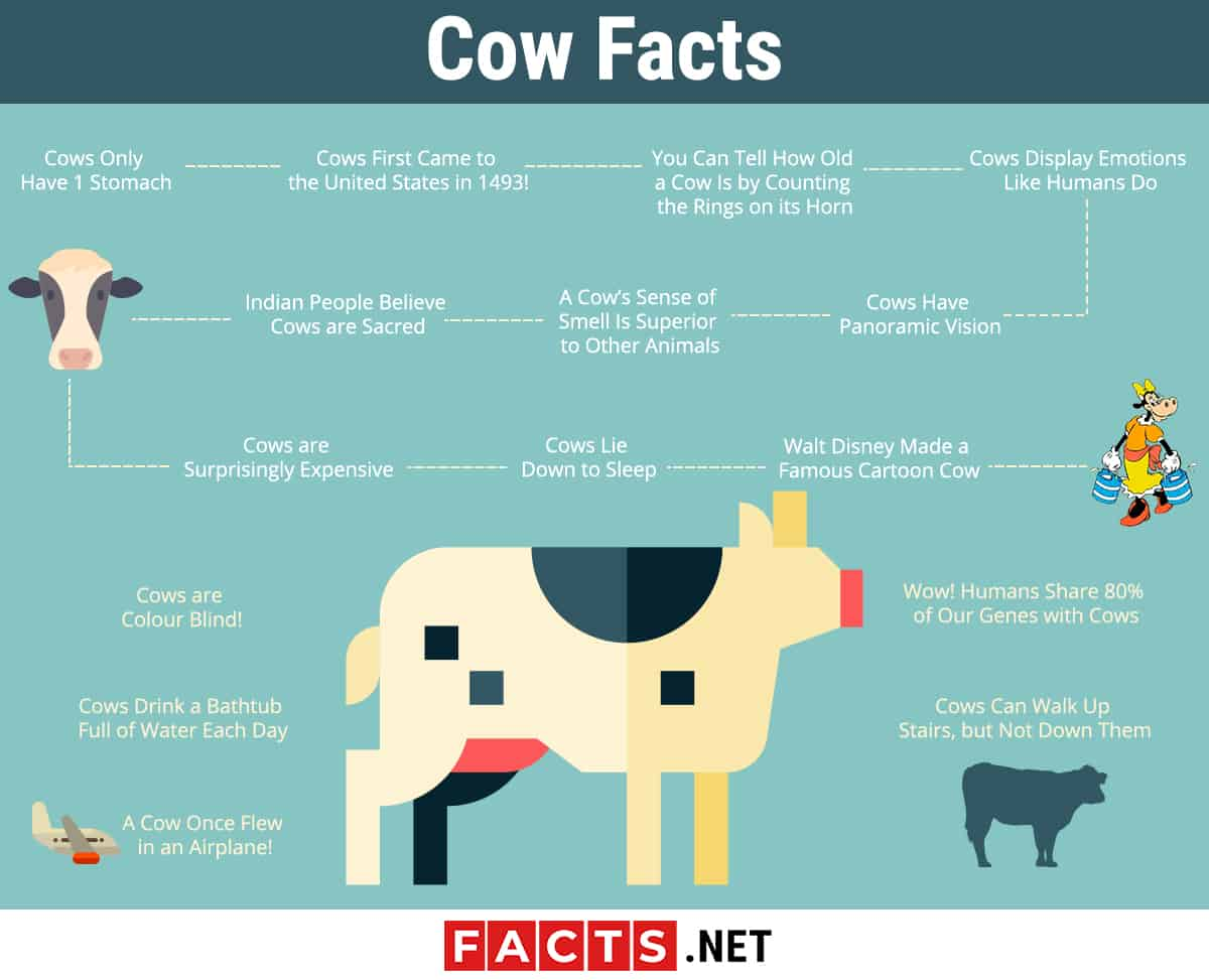 Cow Facts Infographics