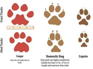 Paw Size Comparison