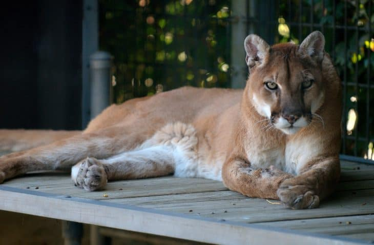 cougar-facts