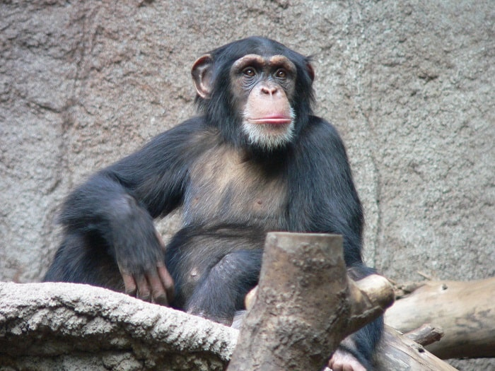 Chimps Endangered in Africa