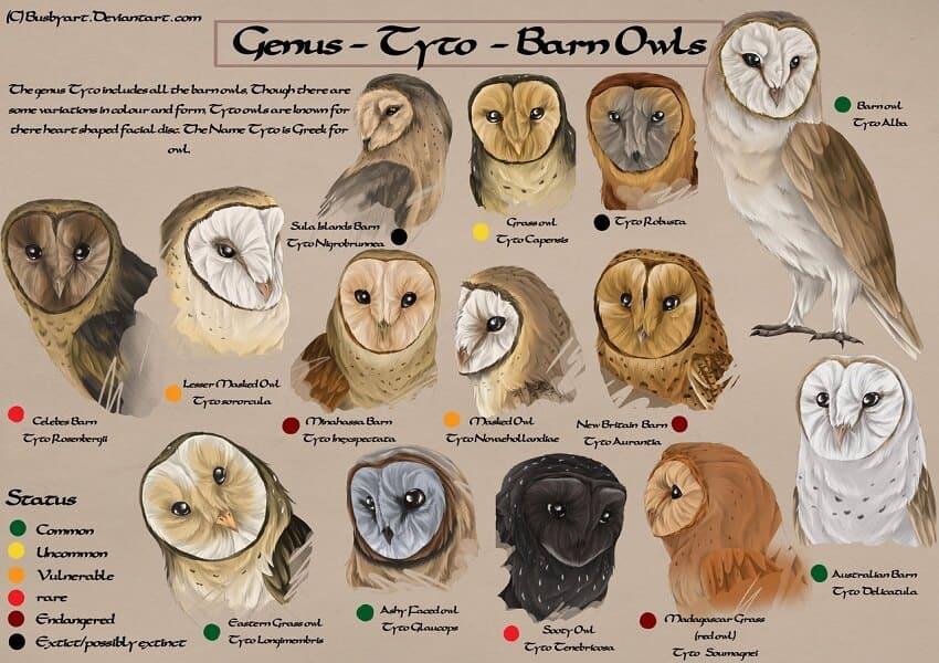 Owl Species Chart