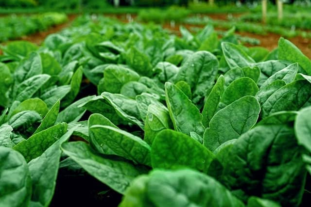 Arkansas is the Spinach Capital of the World