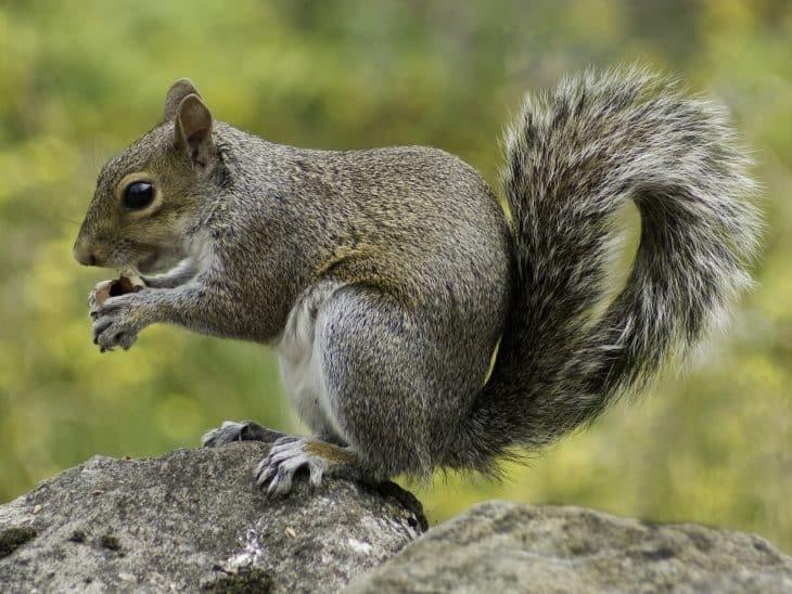 squirrel-facts