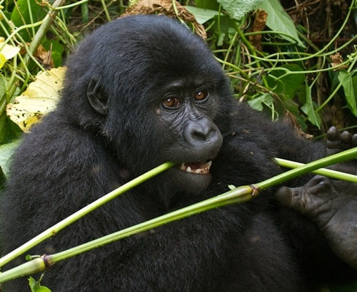 Mountain Gorillas Eating Roots