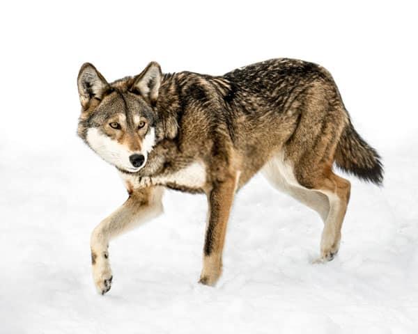 Red Wolf Tiptoe