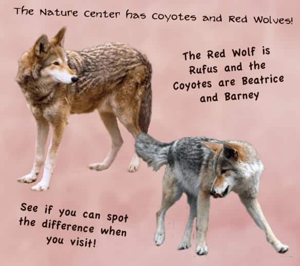 Red-Wolf-vs-Grey-Wolf