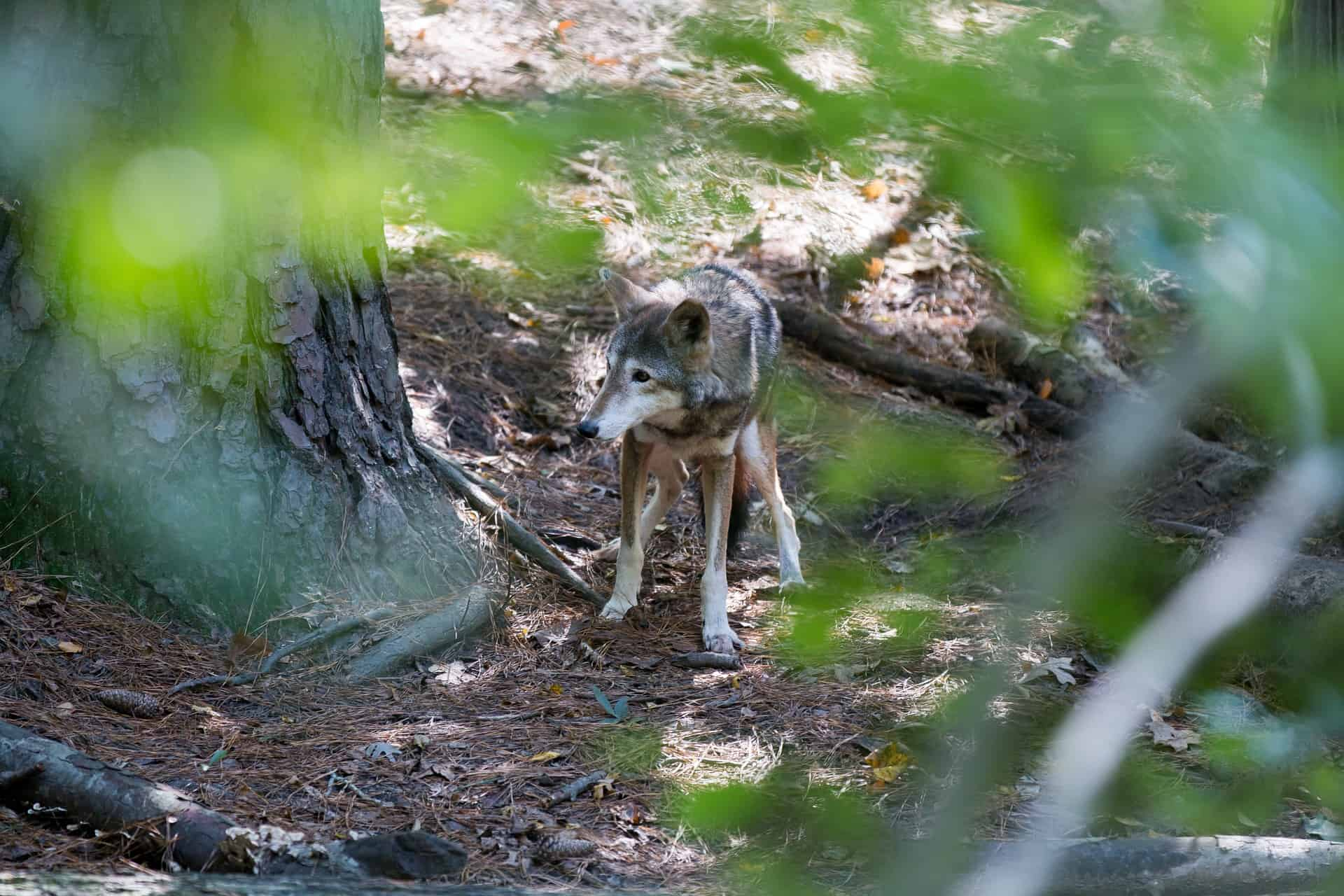 red-wolf-facts