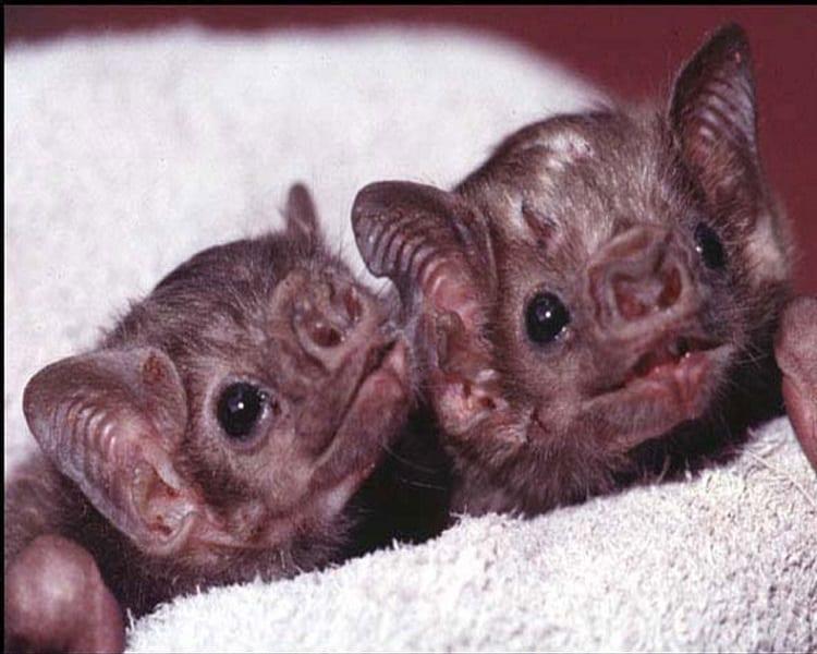 Baby Vampire Bats
