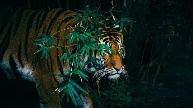 Benegal Tiger Hunt at Night