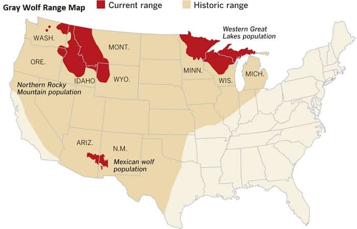 Gray Wolf Range in US - History and Recovery
