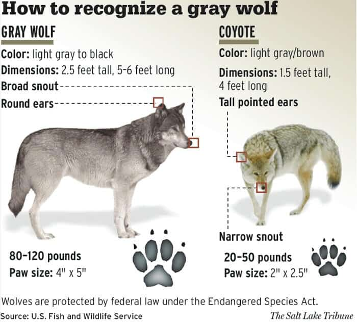 How-to-recognize-a-gray-wolf