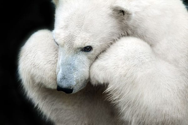 Polar Bear Thinking