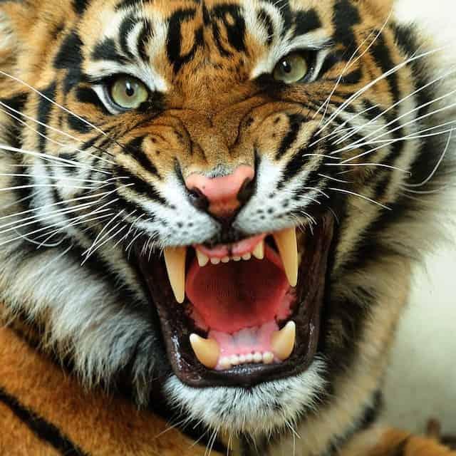 Tiger Showing its Teeth