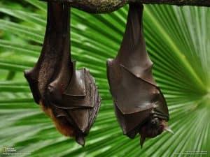 Vampire Bats Sleeping Upside Down