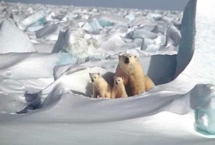 polar-bear-facts