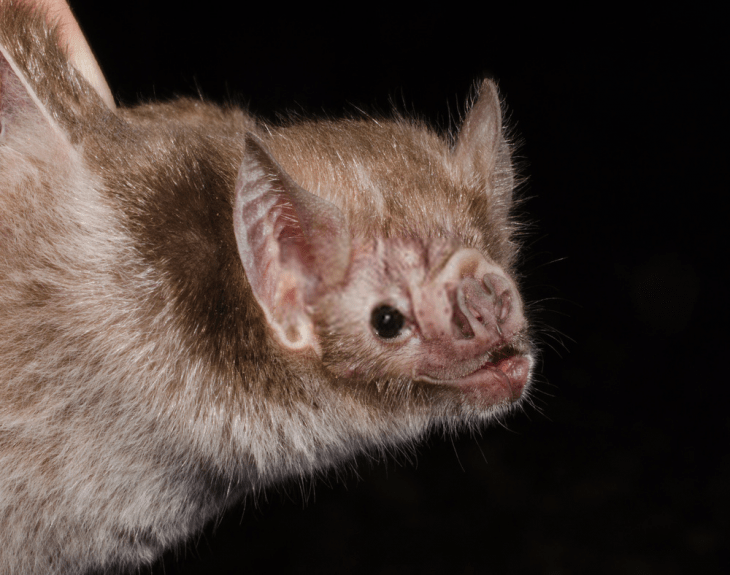 vampire bat facts