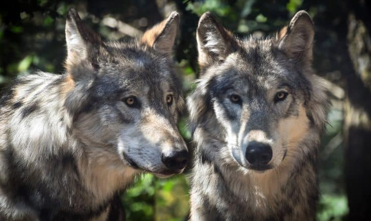 gray wolf facts