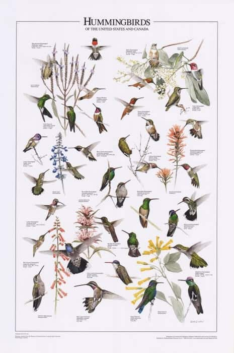 Hummingbirds Species