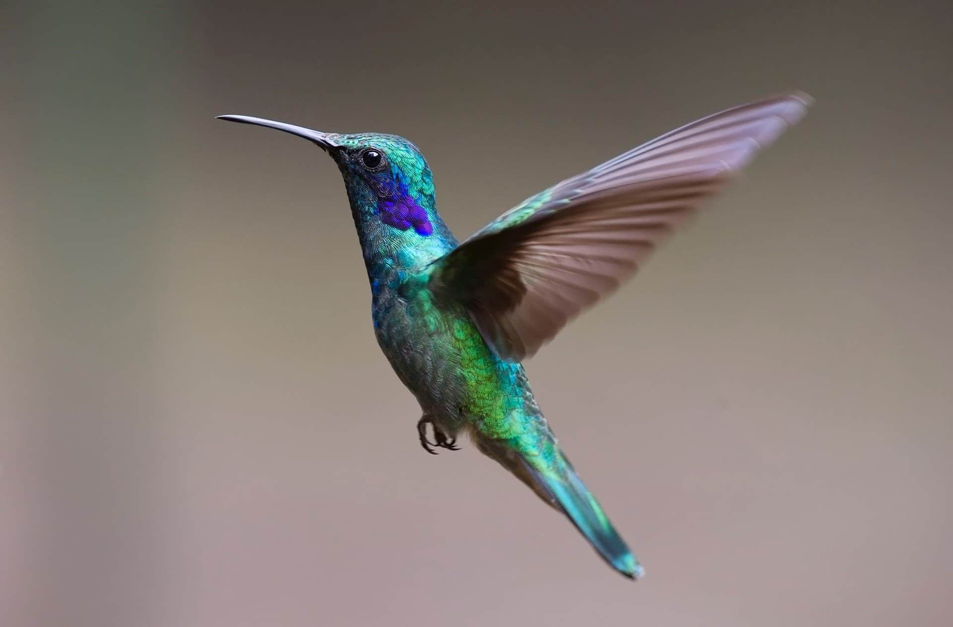 hummingbird-facts