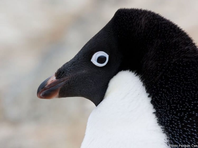 Adlie Penguins Have White Rings Around Their Eyes