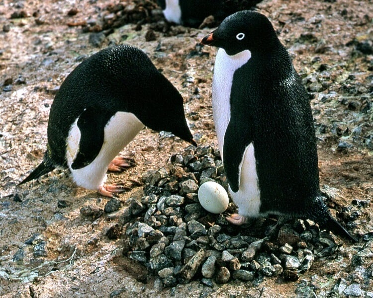 Adelie Penguins Nest on Stones