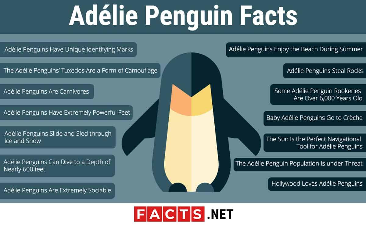 Adelie Penguin infographics