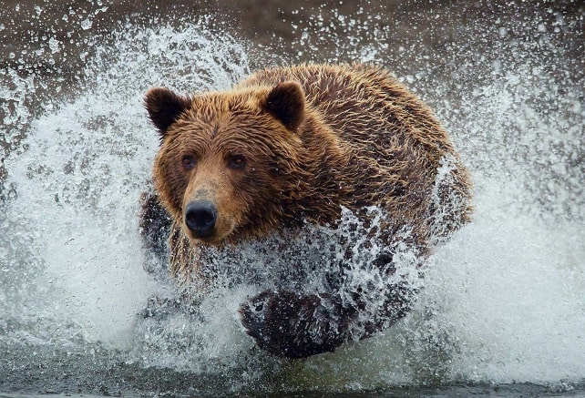 Brown bear running through water