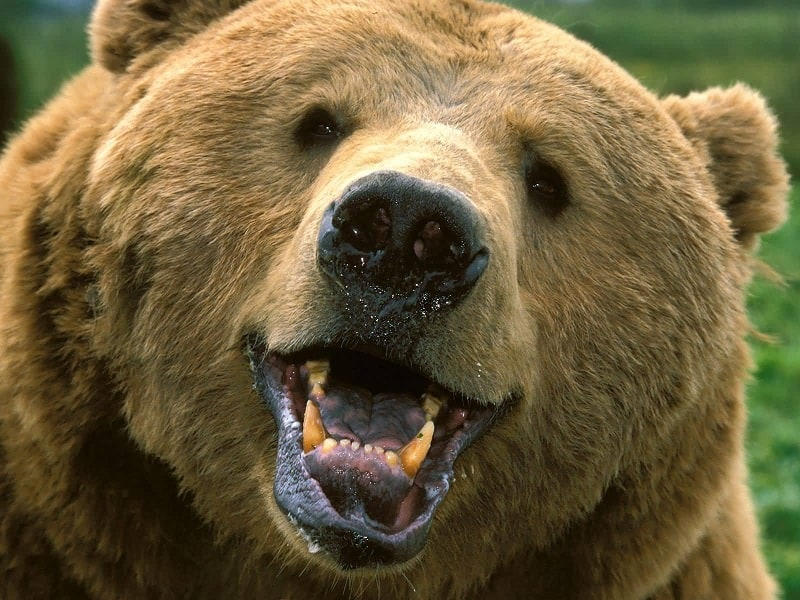 Brown bear showing his teeth