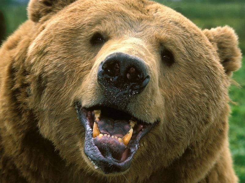 Brown Bear Showing its Teeth