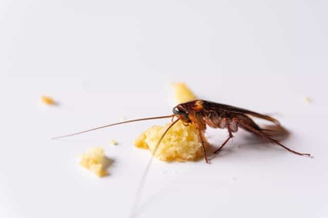 Cockroach Eating Crumbs