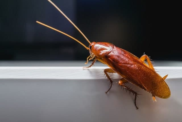 Cockroaches Have Wings