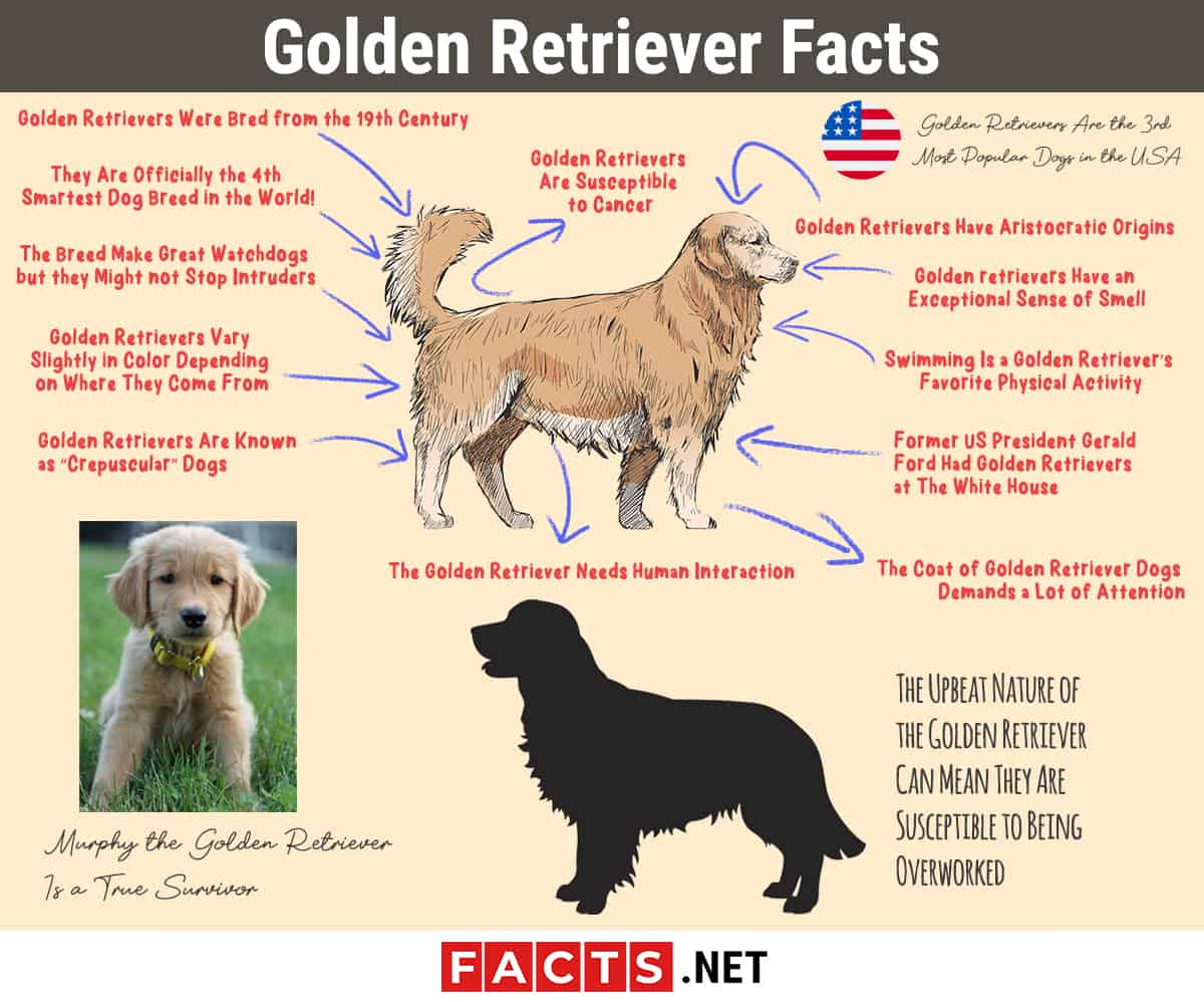Golden Retriever Facts Infographics