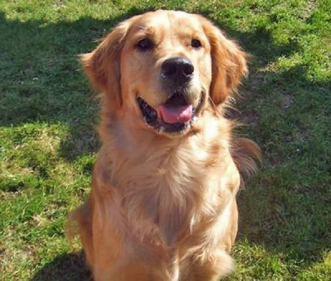 Murphy the Golden Retriever