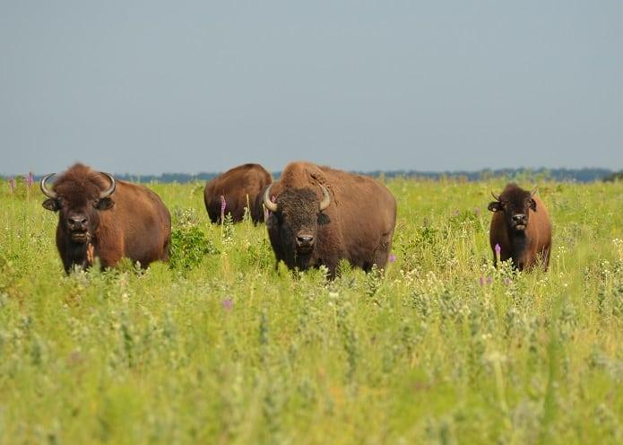 Bison Were the Rulers of Prairies