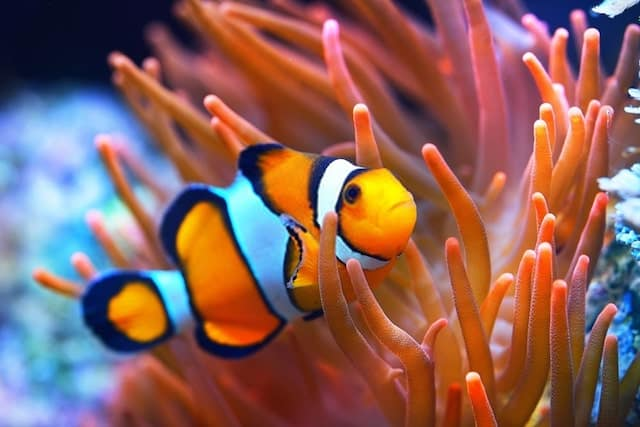 Clown Fish and Sea Anemones
